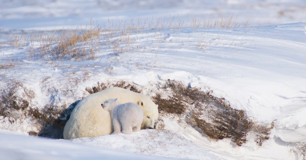 Oil Industry Tool to Spare Polar Bears Is More Miss Than Hit