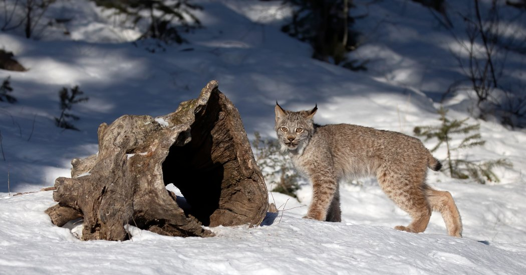 Lynx Numbers Are in Decline in the West