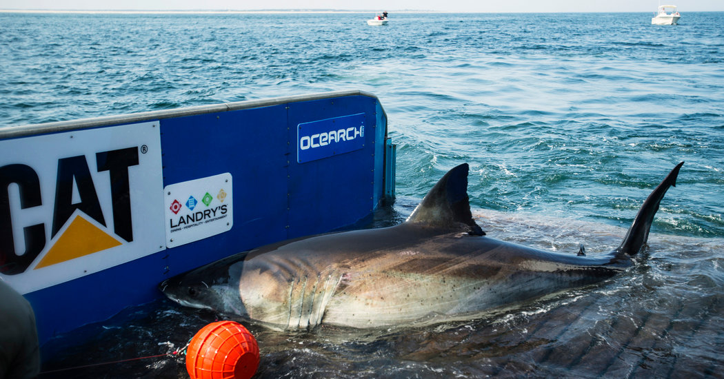 Katharine, the Great White Shark Who Ghosted Her Trackers, Resurfaces